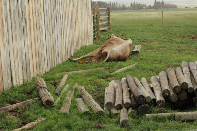 cow-calving-6