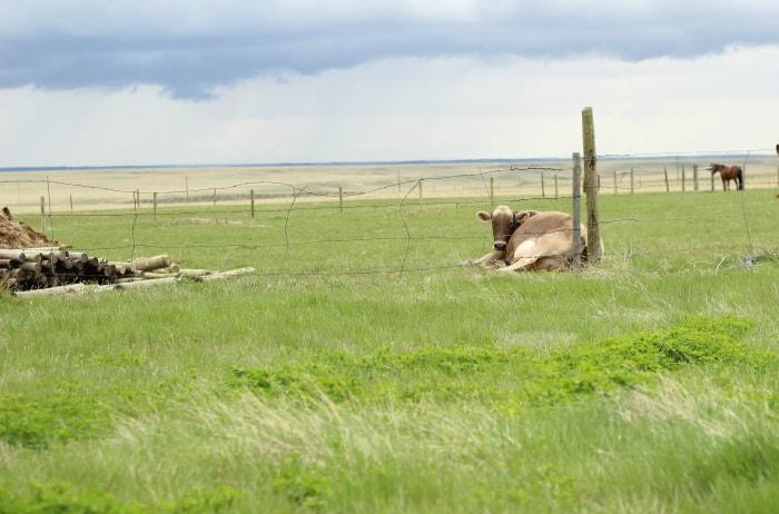 calving signs