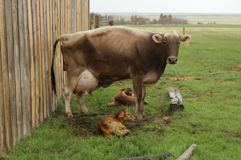 milk cow with twins