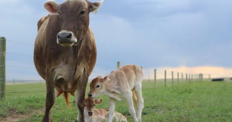 Signs of Calving: 5 Things to Watch