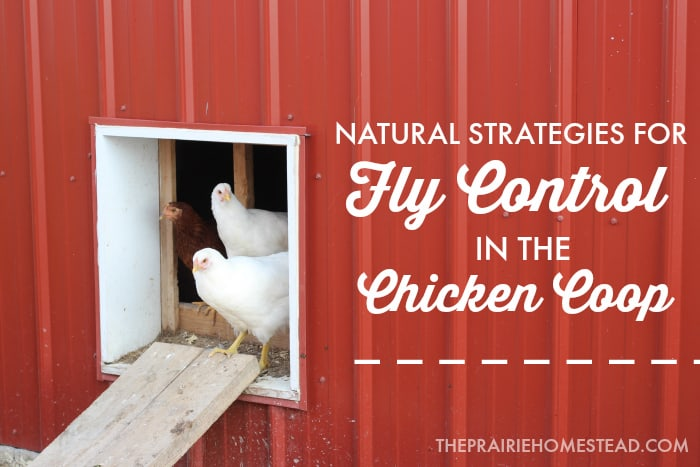 Backyard Chickens And Flies fly control in the chicken coop | the prairie homestead
