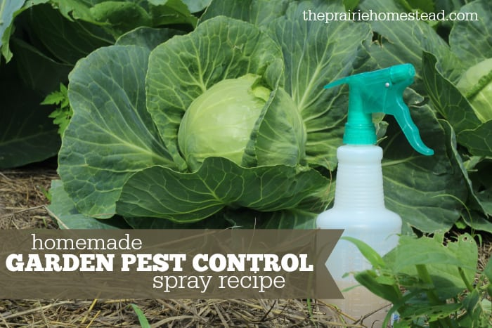 homemade organic pest control spray recipe