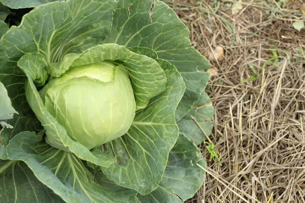 cabbage in fall garden