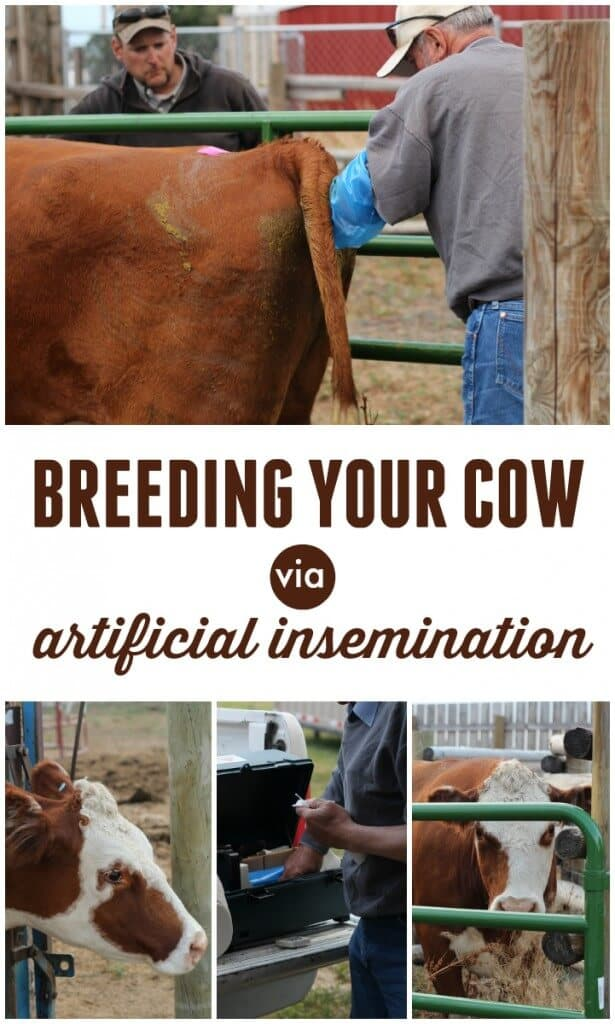 artificial insemination for cows