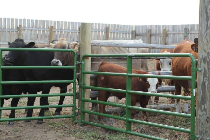 artificial-insemination-cow