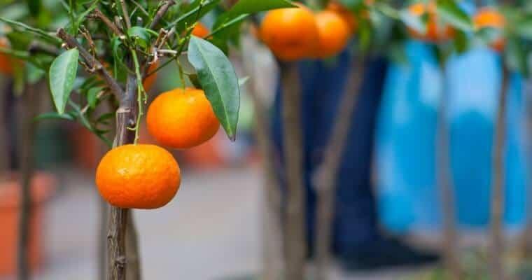 Growing Dwarf Fruit Trees