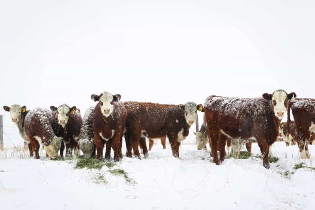hereford heifers in the snow