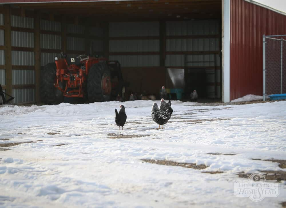 chickens in snow on farm