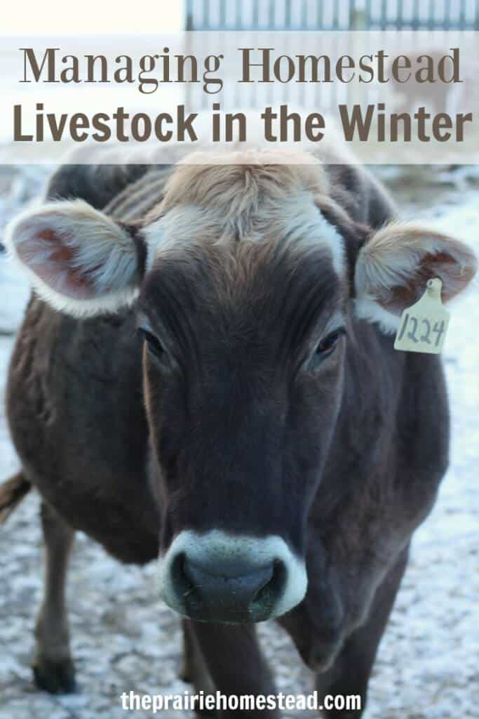 managing homestead livestock in the winter