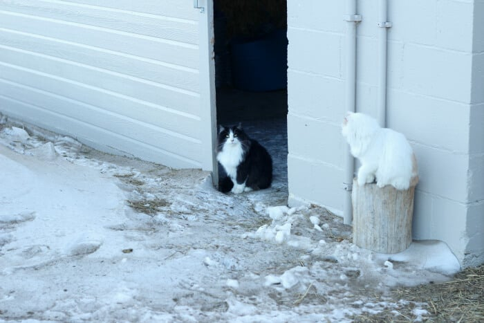 managing homestead livestock during the winter