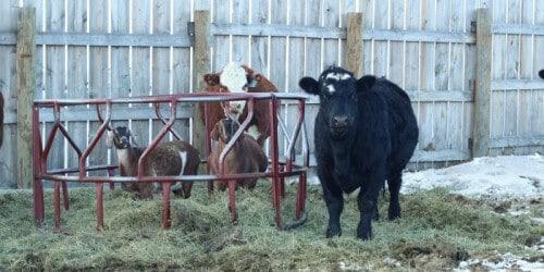 Managing Homestead Livestock in Winter