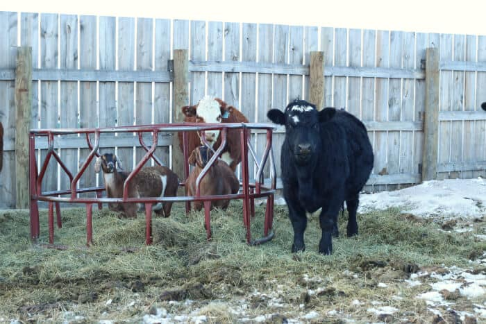 cows with round bale feeder
