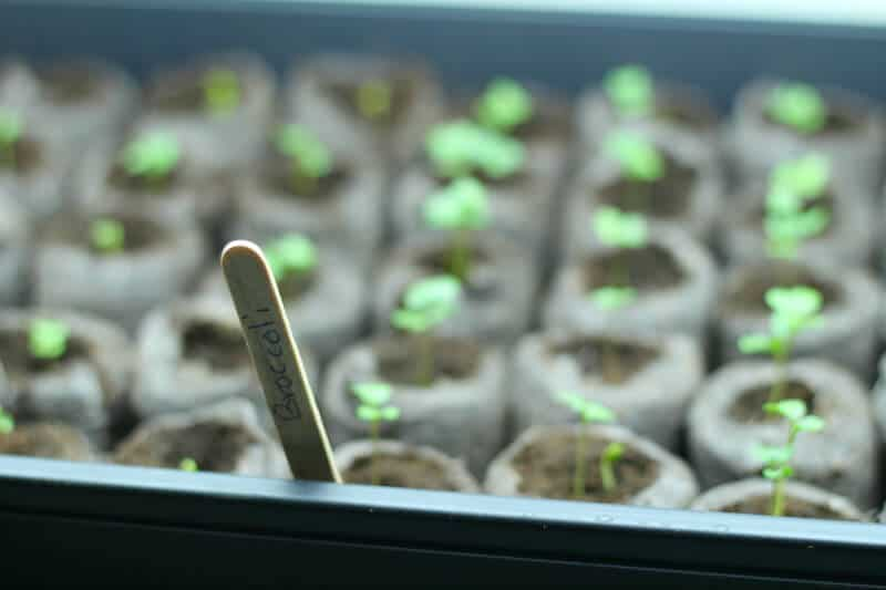 broccoli seedlings in trays