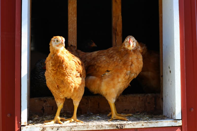 Homemade Chicken Feed Recipe • The