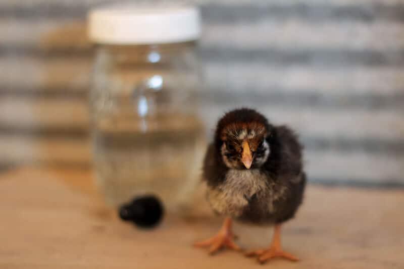 diy homemade electrolytes for chicks