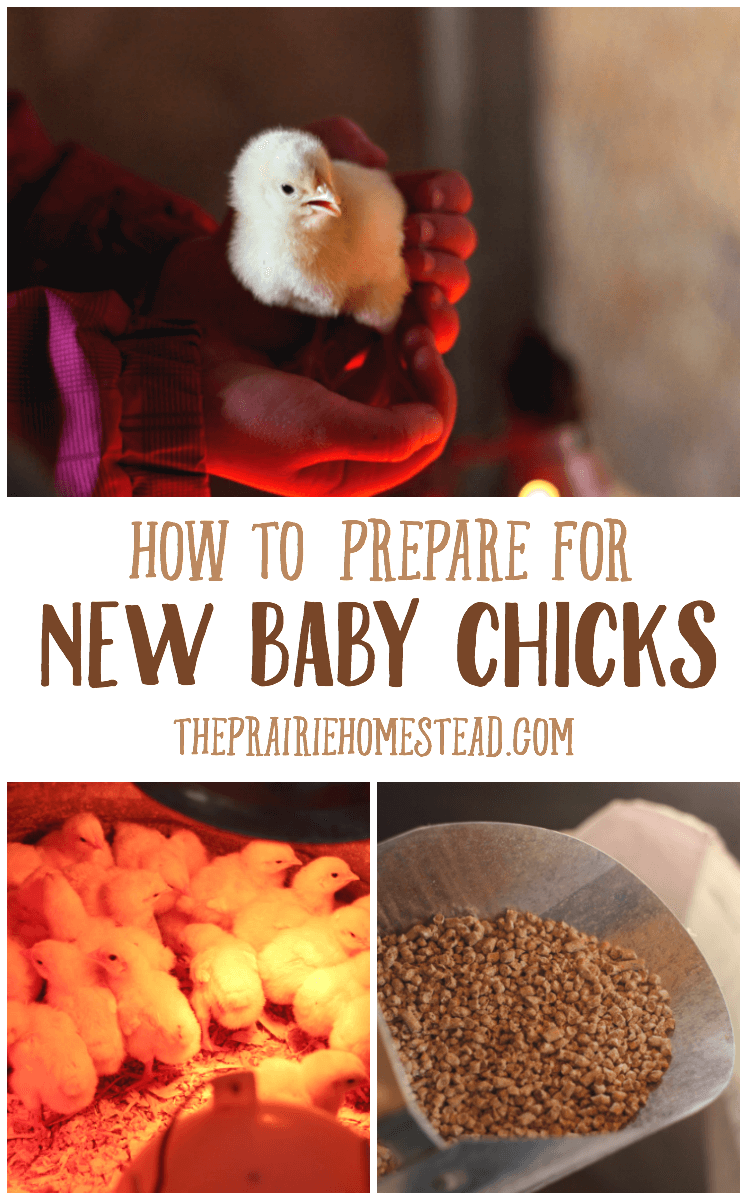 how to get ready for new baby chicks