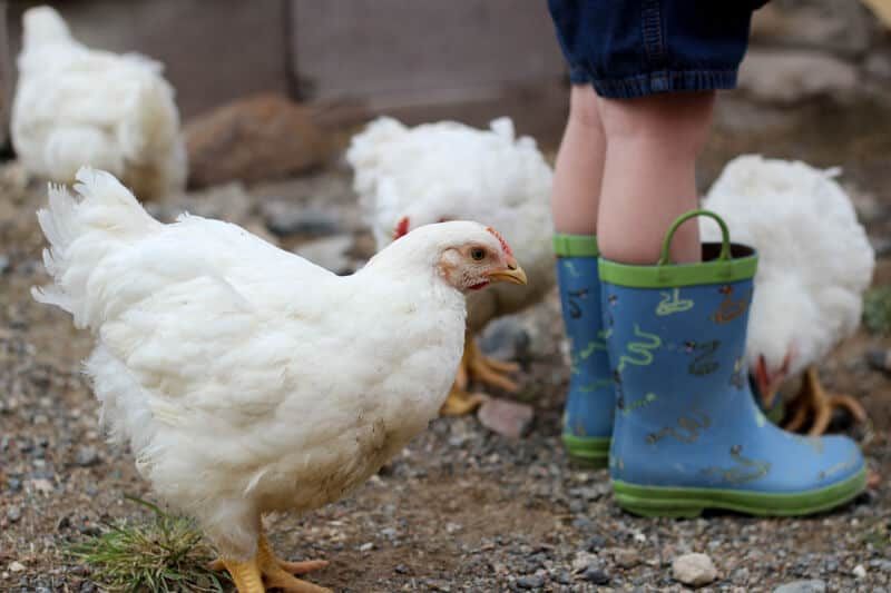 cornish cross meat chickens