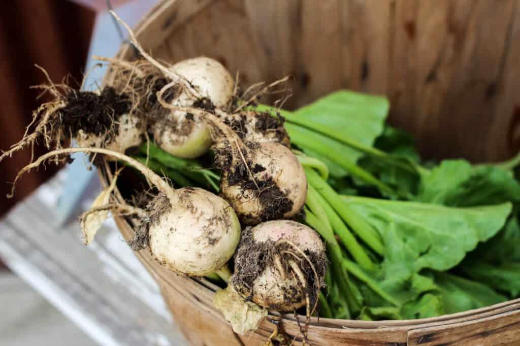 homegrown garden albino heirloom beets