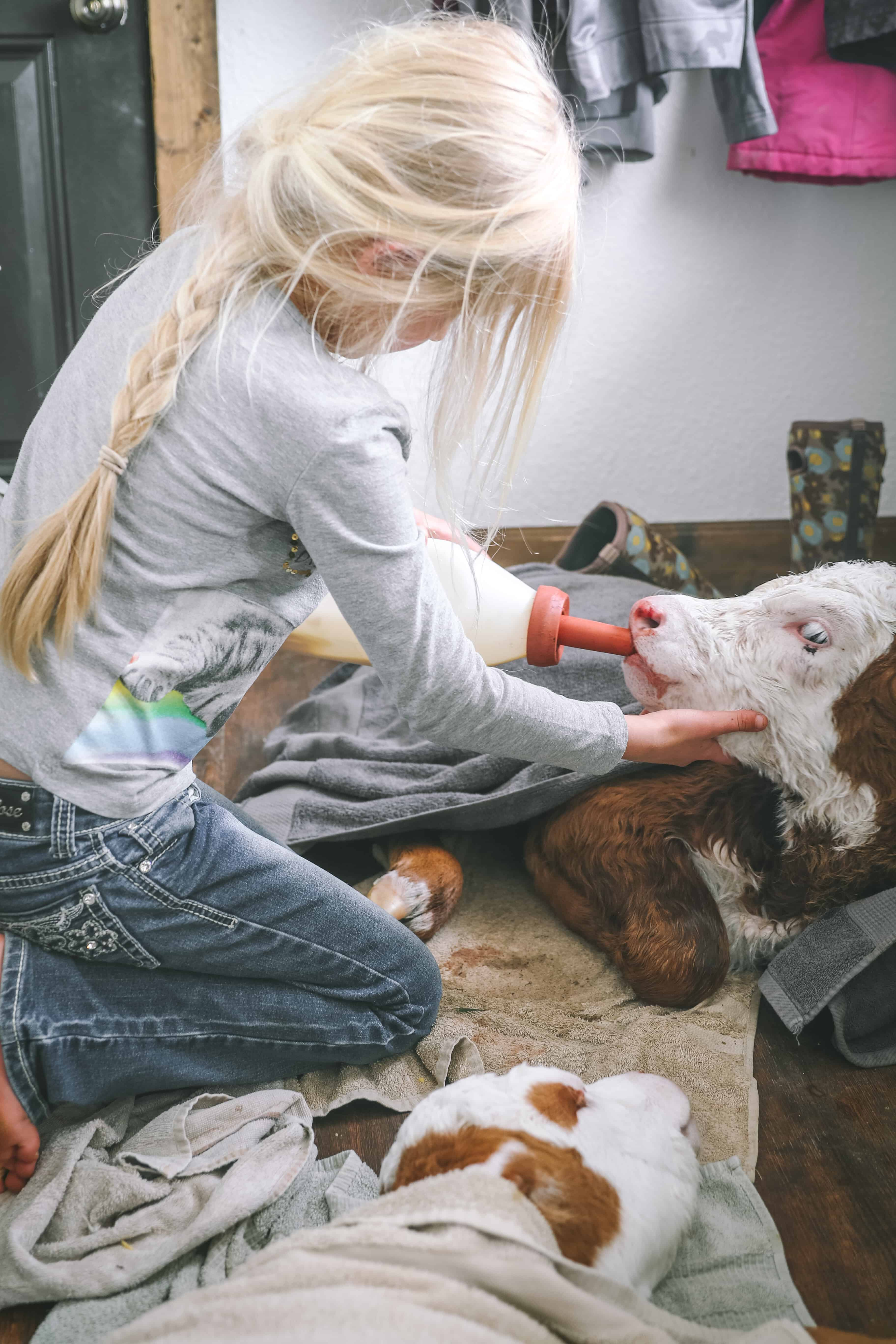 newborn calf in mudroom drinking bottle