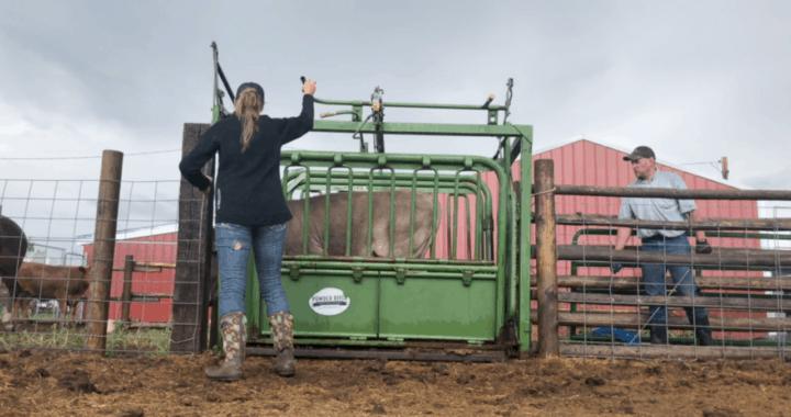 Are Twin Cows Sterile?
