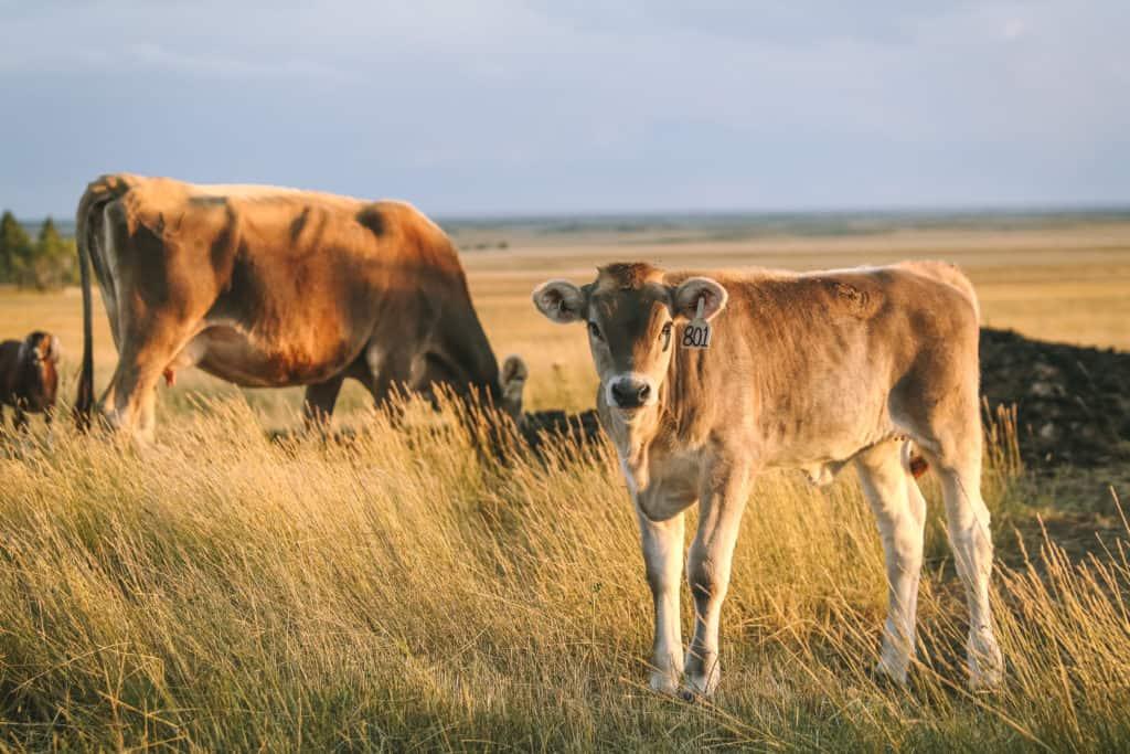 cows in wyoming prairie