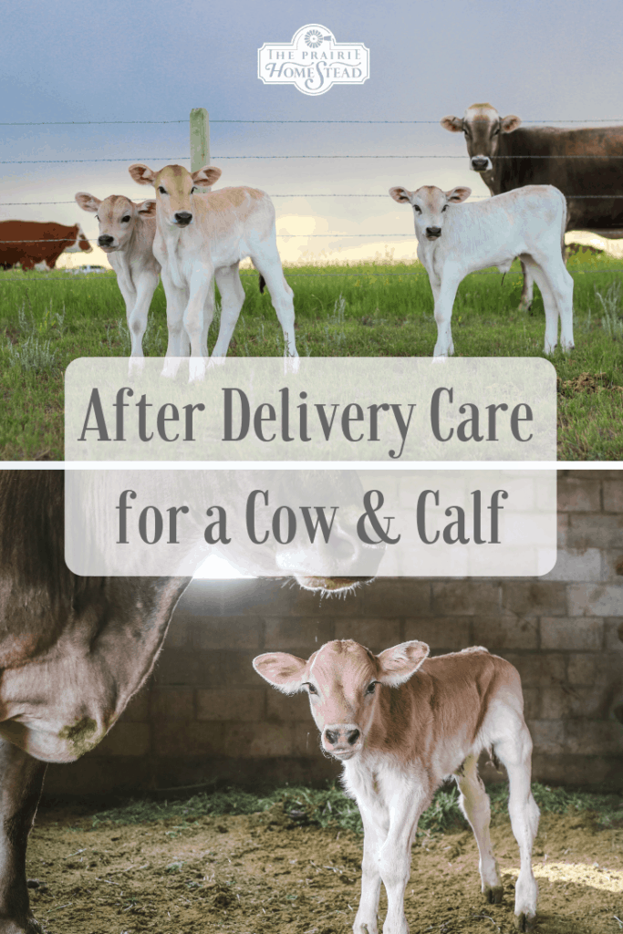 after-delivery care cow and calf