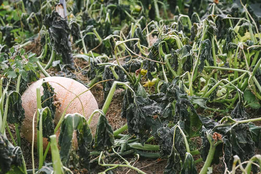 how to plant cover crops in a small garden