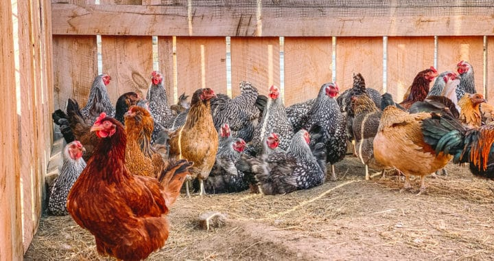 guide to laying hens