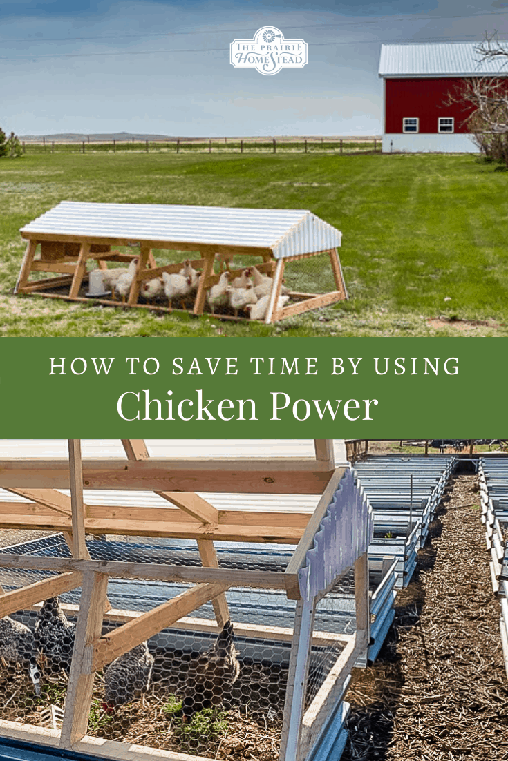 how to save time by using chicken power around your homestead