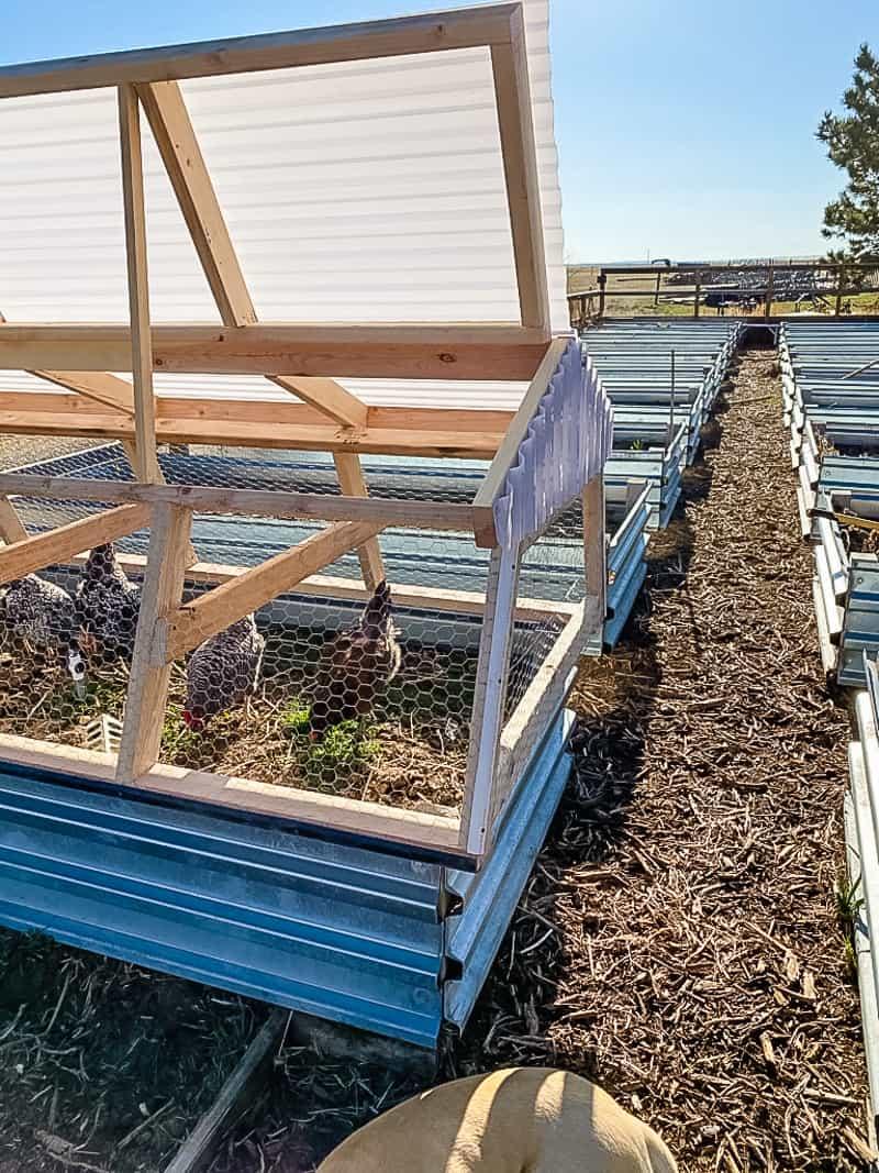 chicken tractor in garden