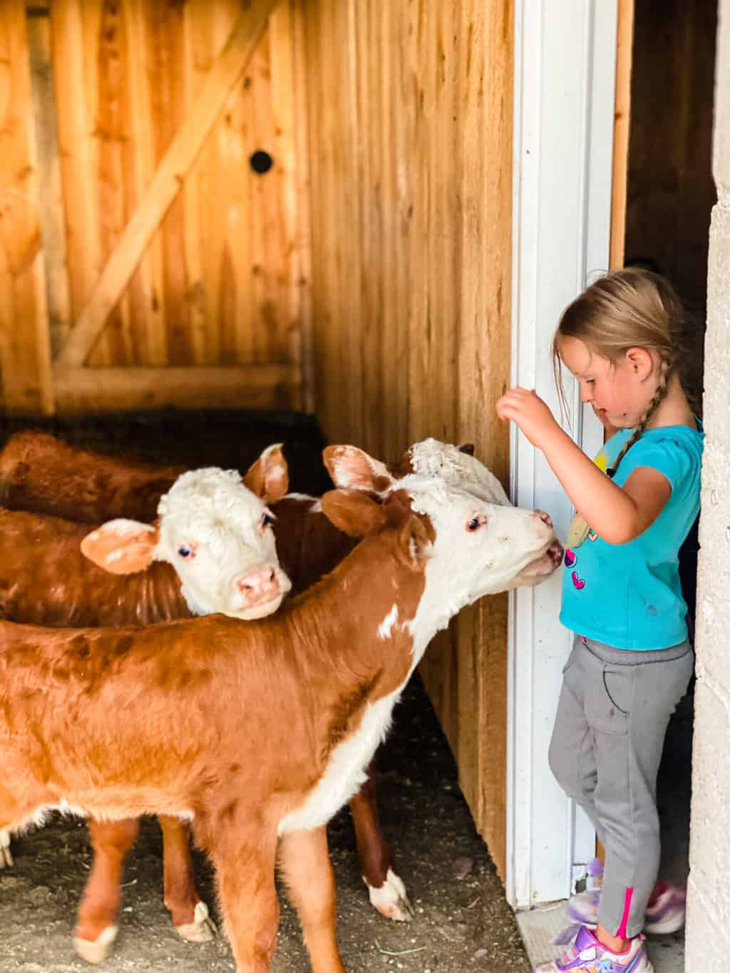Homesteading with Kids Sage and Cows