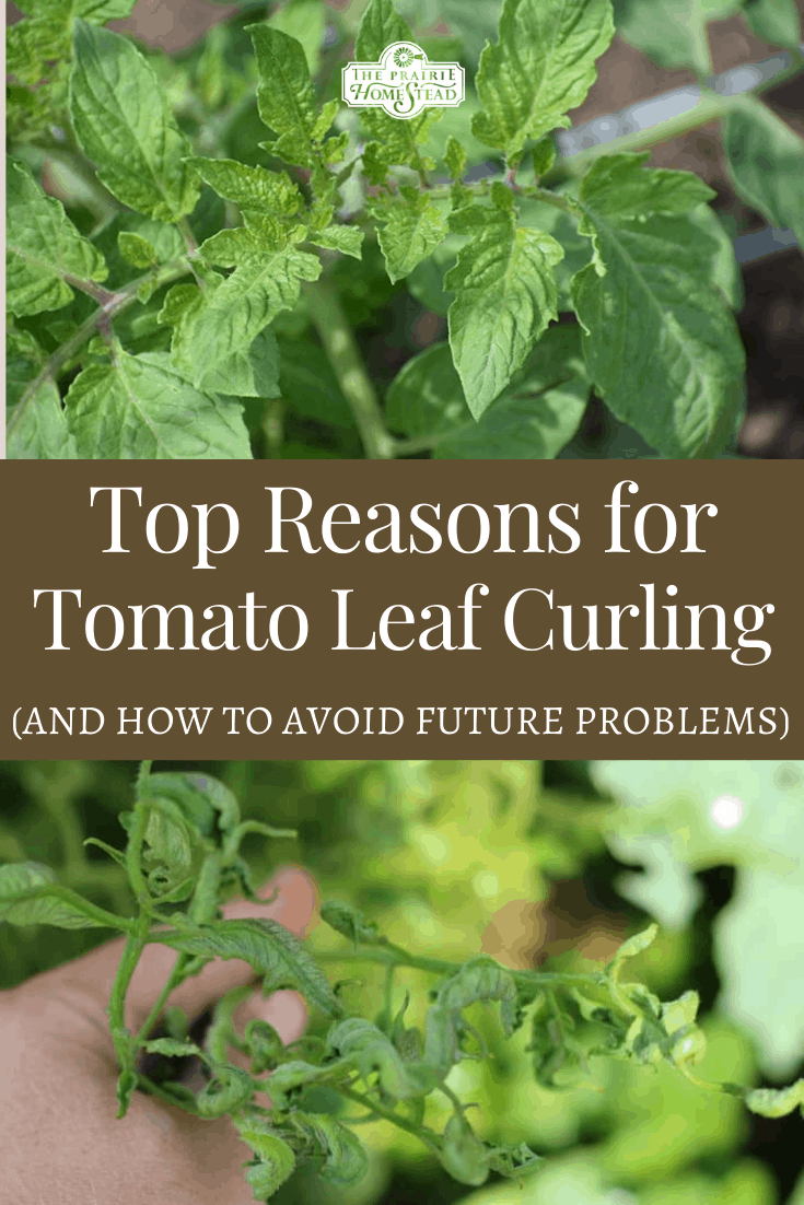 Top Reasons For Tomato Leaf Curling